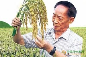 人类饿不死了!海水稻终于试验成功!亩产621公斤! ()