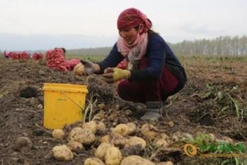 土豆产业带动新疆昭苏县奔小康 ()