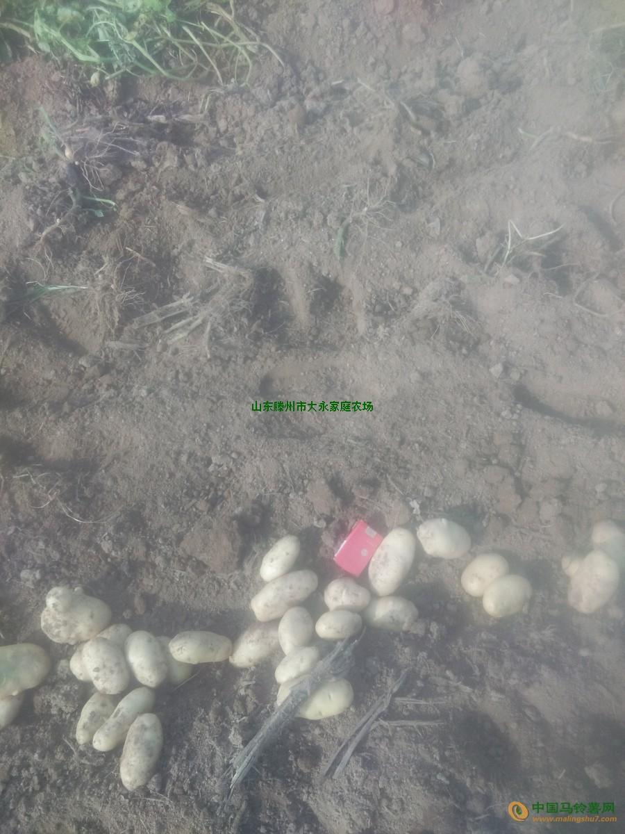 大量出售滕州土豆,鲜货 ()