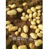 供应秋季土豆:品种:荷兰十五