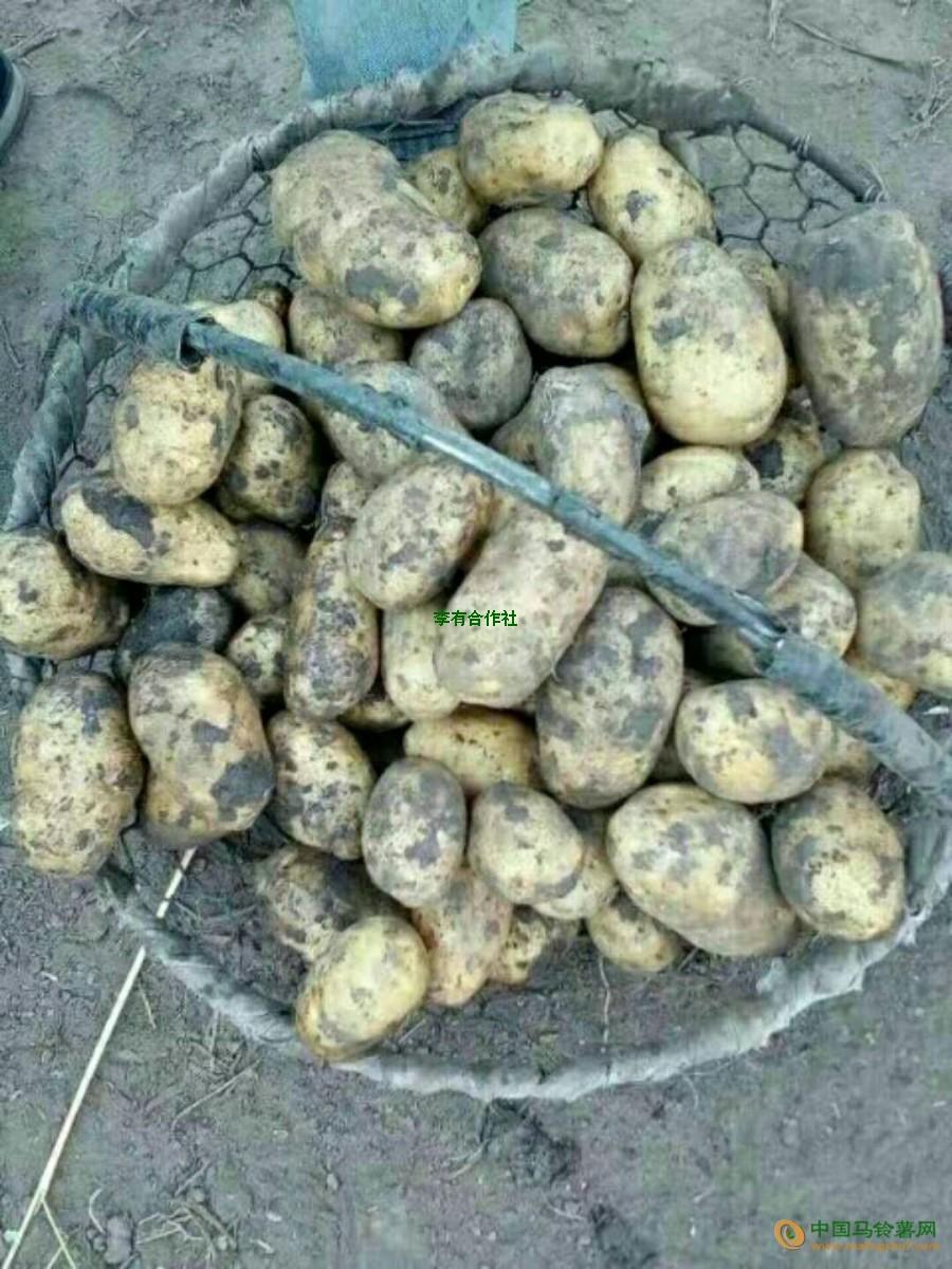 大量出售土豆 ()