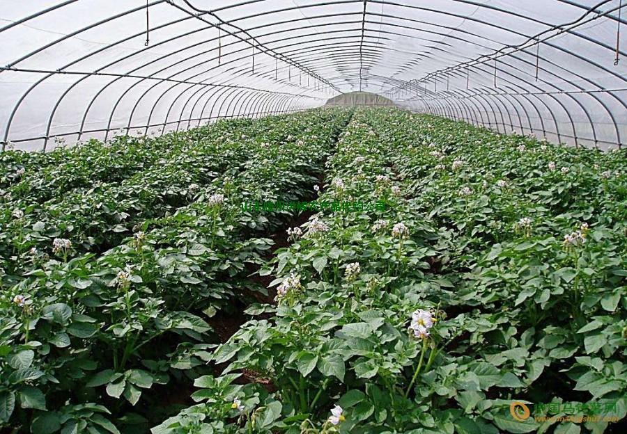山东滕州三膜新土豆大量供应 ()