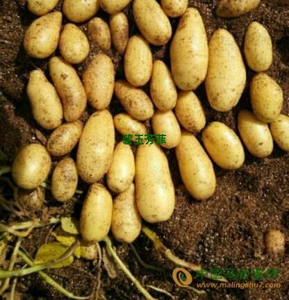 出售微型薯 ()