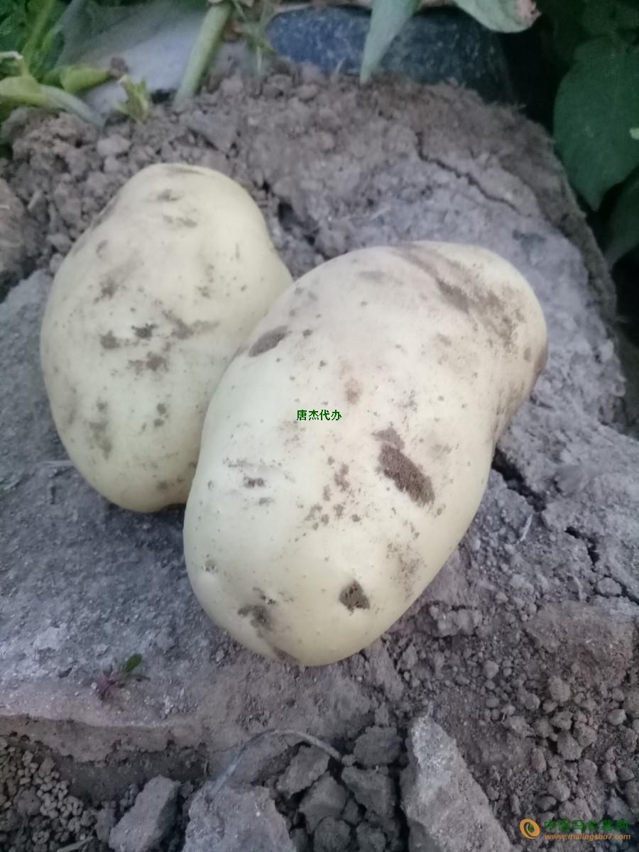 滕州自家土豆上市了 ()