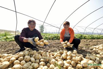 陕西城固:农户收薯笑颜开 ()