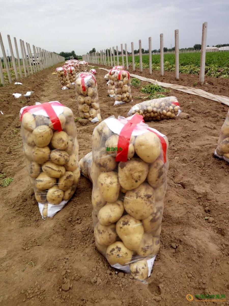 大量供应优质土豆 ()