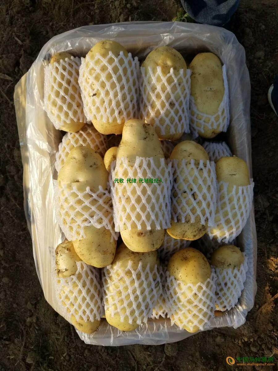 全年供应:荷兰十五土豆,现有两膜大量上市 ()