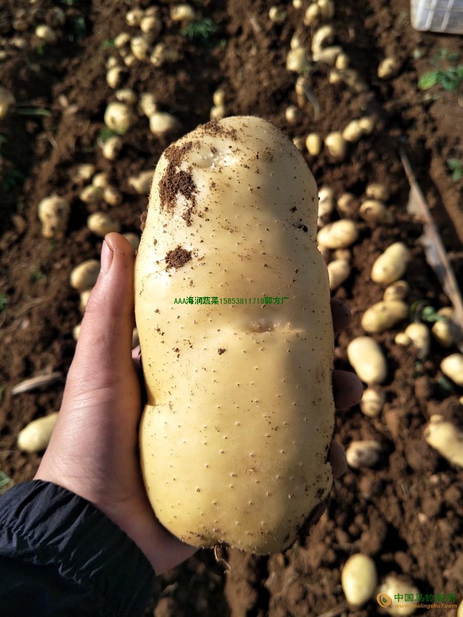 肥城小拱棚荷兰土豆大量上市 ()