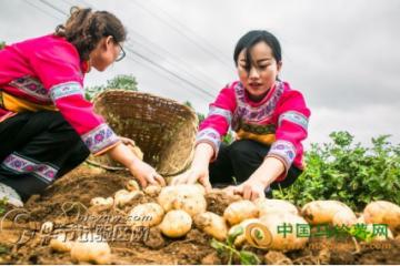 贵州大方:马铃薯喜获丰收 ()