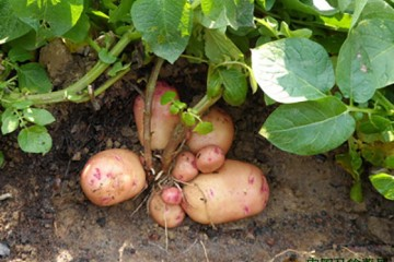 宜昌:新品种马铃薯产量超5000斤