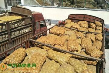 四川马尔康市:引进马铃薯优良品种