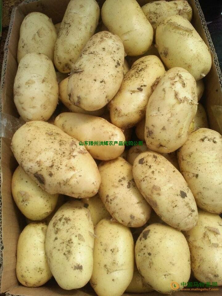 山东滕州露天新土豆大量供应 ()