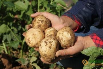 定西:又到马铃薯丰收季 ()