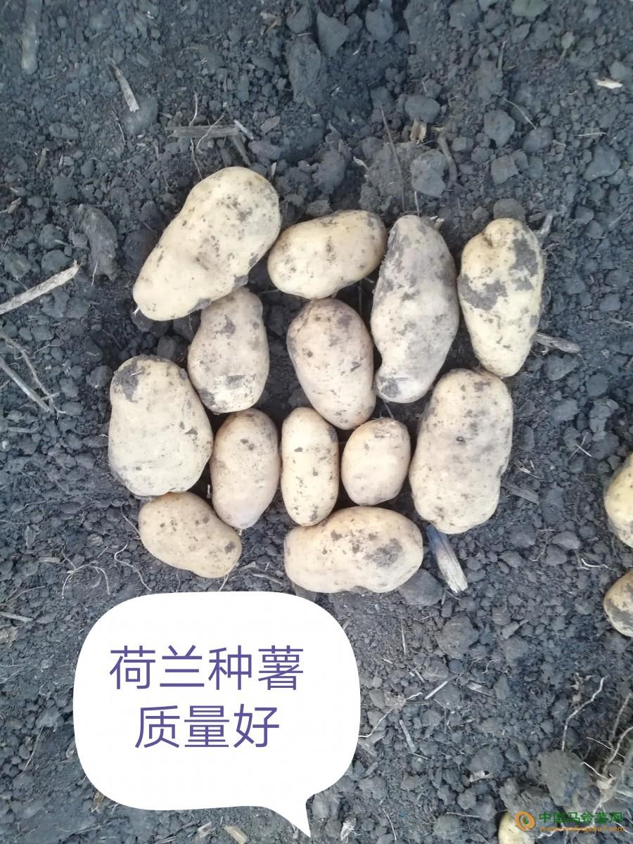 供应黑龙江优质马铃薯荷兰系列 ()