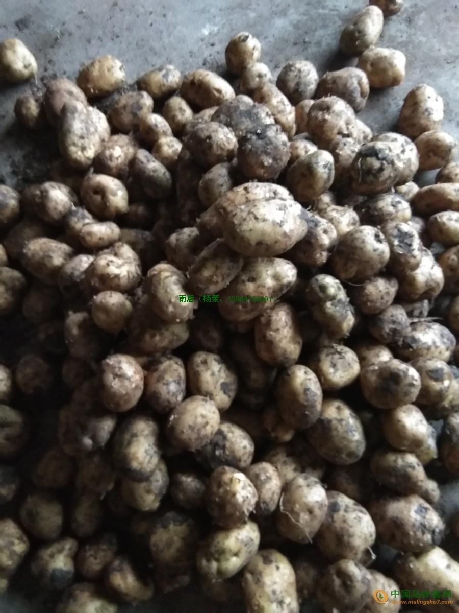 本人大量收购华颂7土豆种 ()