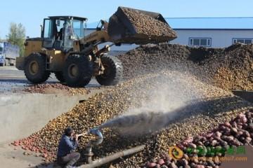 黑龙江:产区马铃薯喜丰收