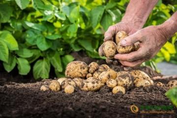南方秋冬薯这样施肥才高产