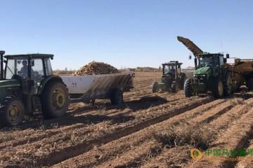 榆阳:万亩大漠薯喜迎丰收 ()