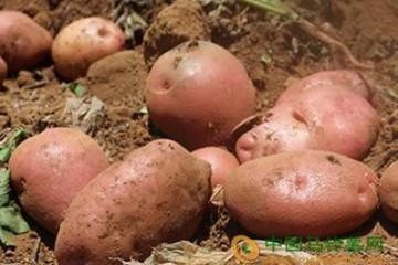 """西藏:""""红皮土豆""""喜丰收 ()"""