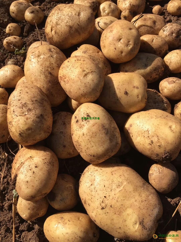 出售云南富锌土豆(新土豆) ()
