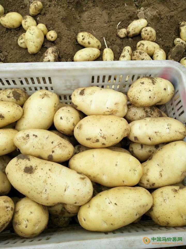 出售滕州土豆 ()