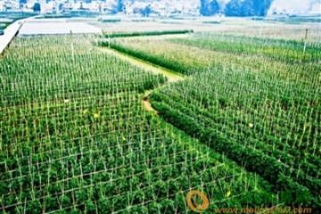济南:未来将大力发展蔬菜产业 ()
