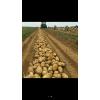 本人大量供应,早大白,中暑5,荷兰系列土豆