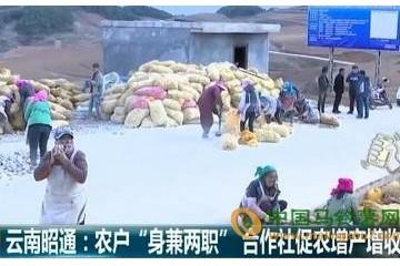 昭通鲁甸县合作社:种薯致富