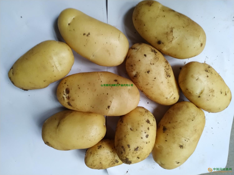 山东滕州三膜新土豆大量上市 ()