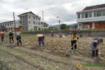 贵州黄平新薯开始丰收