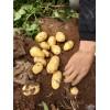 荷兰土豆6月份大量上市