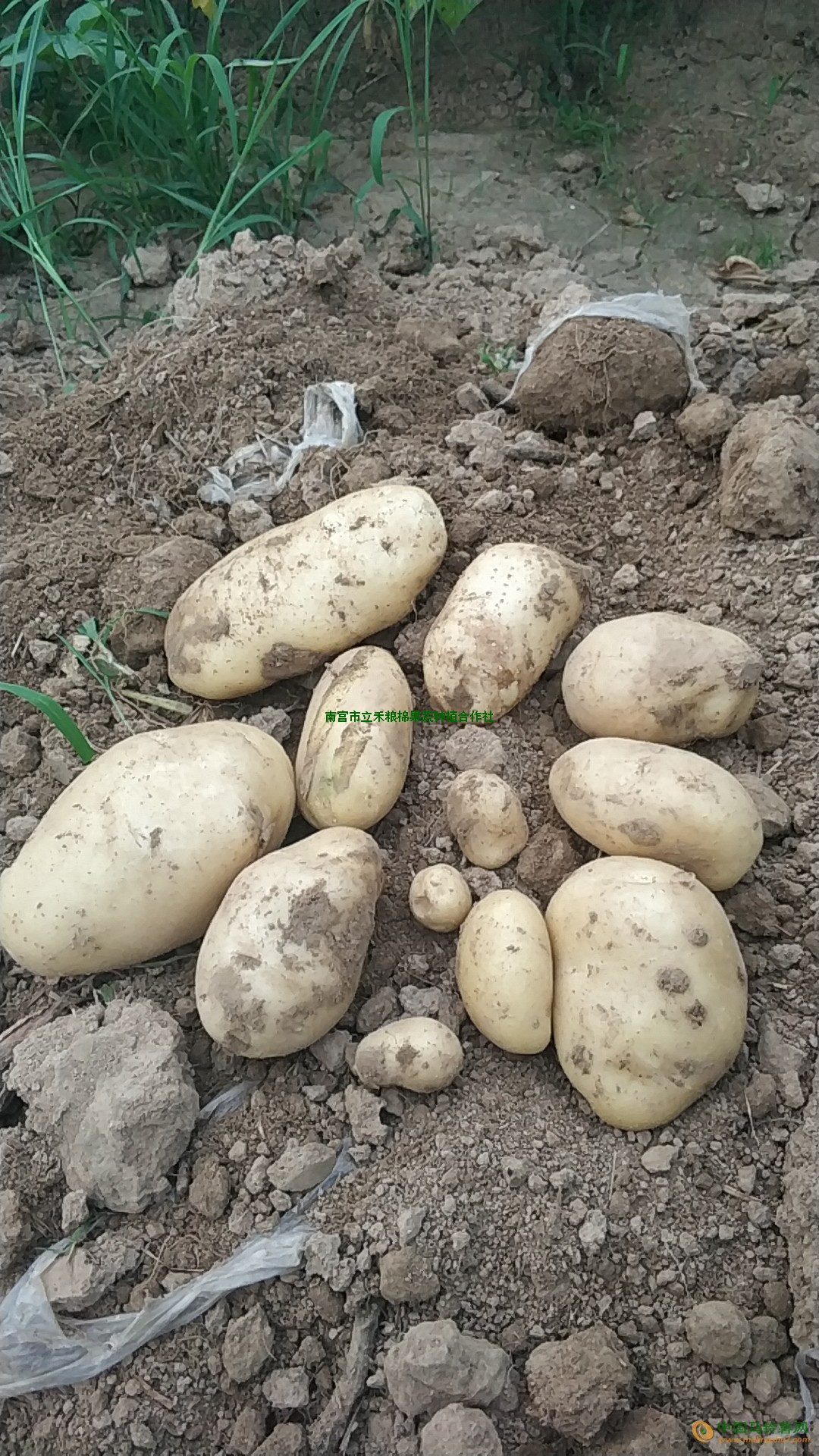 本人大量出售土豆 ()