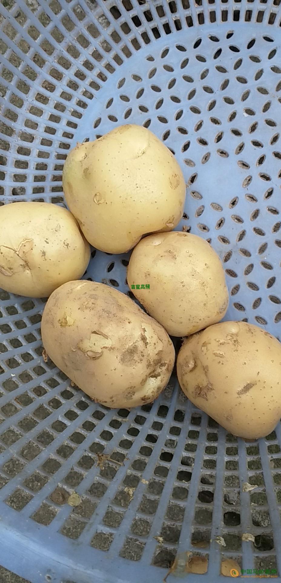 土豆大量上市 ()