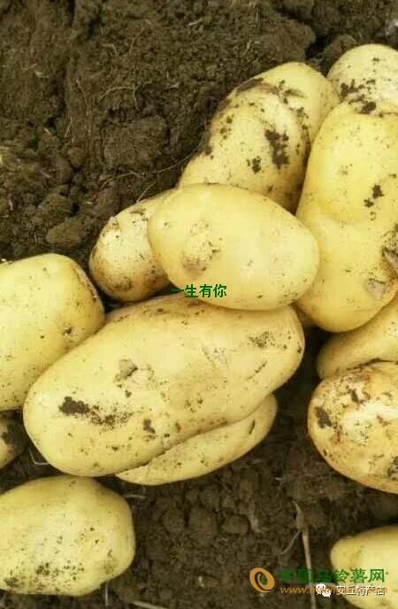 土豆一两半以上 ()