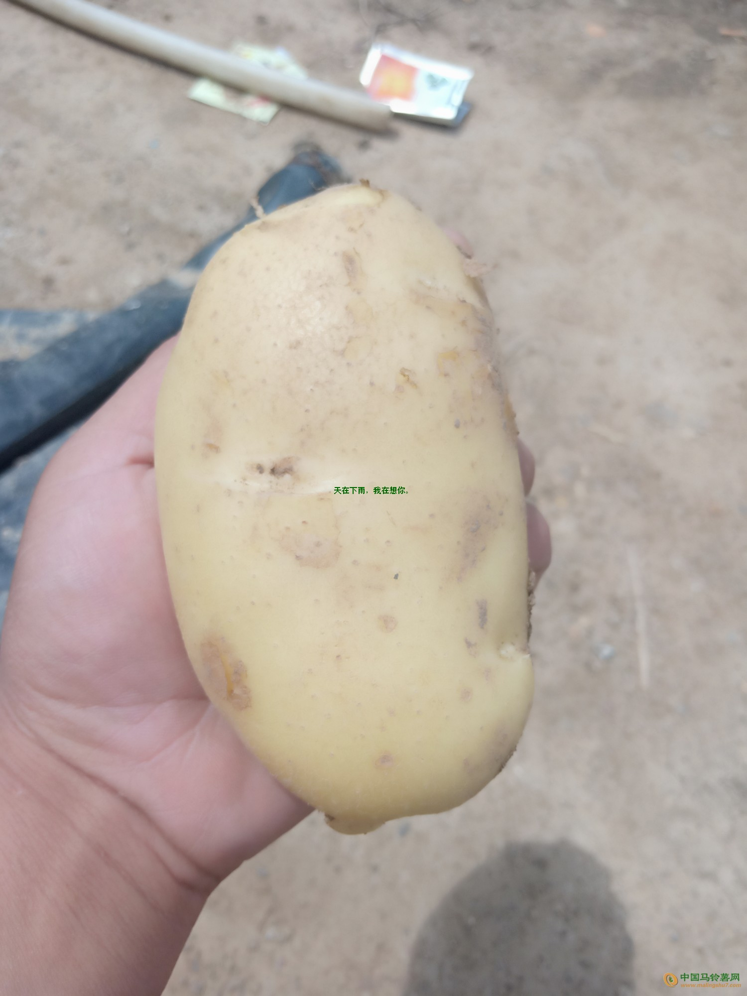 黄皮黄心土豆 ()