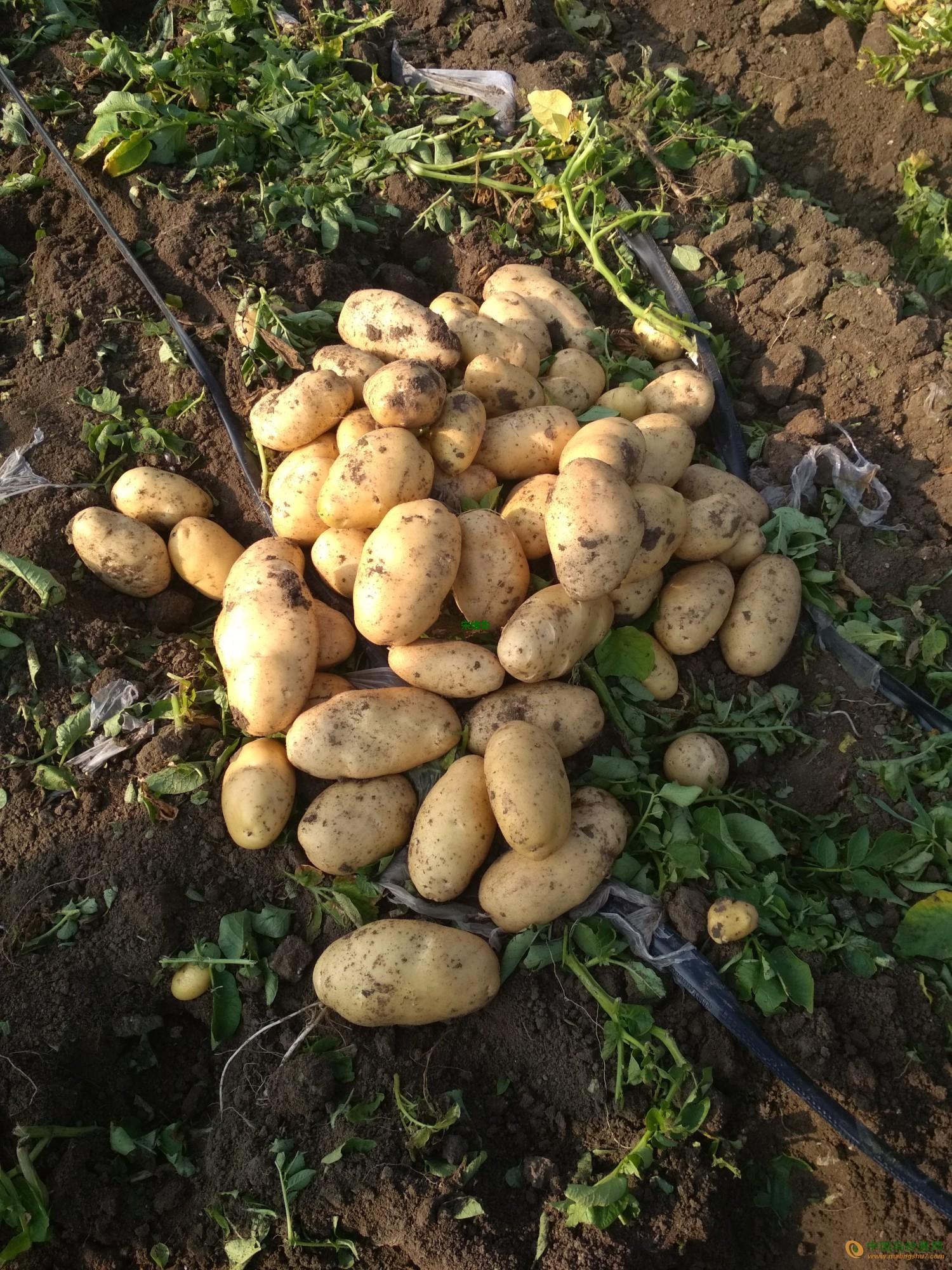 本人大量供应荷兰十五土豆 ()