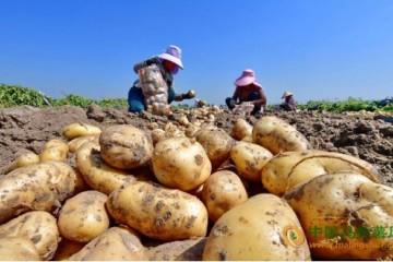 河北滦州:马铃薯喜获丰收