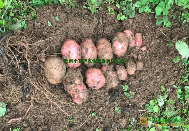 合作88.云薯505.PO3 ()