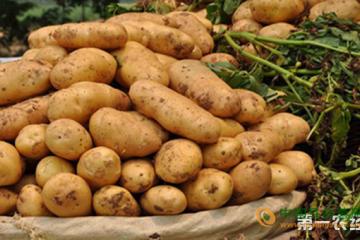 彩色马铃薯新品种培育成功 ()