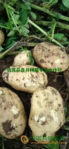 沽源县226土豆 ()