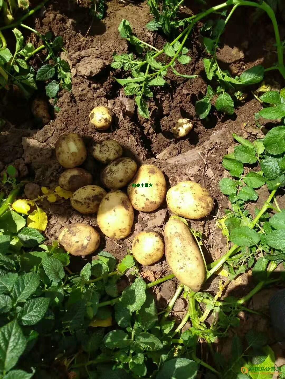 大量供应荷兰,西森,思兰特等品种优质土豆 ()