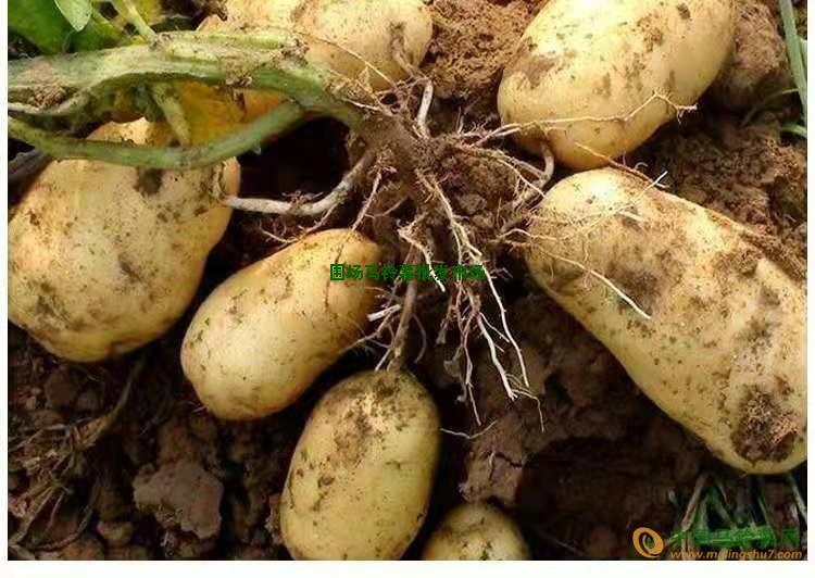 围场马铃薯自产批发2000吨 ()