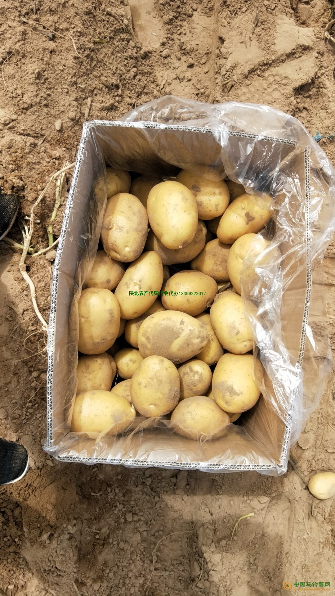 大量供应毛乌素沙漠珍品 ()