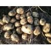 大量供应荷兰,西森,思兰特,v7等品种优质土豆