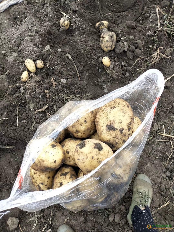 出售大量优质马铃薯荷兰系列 ()