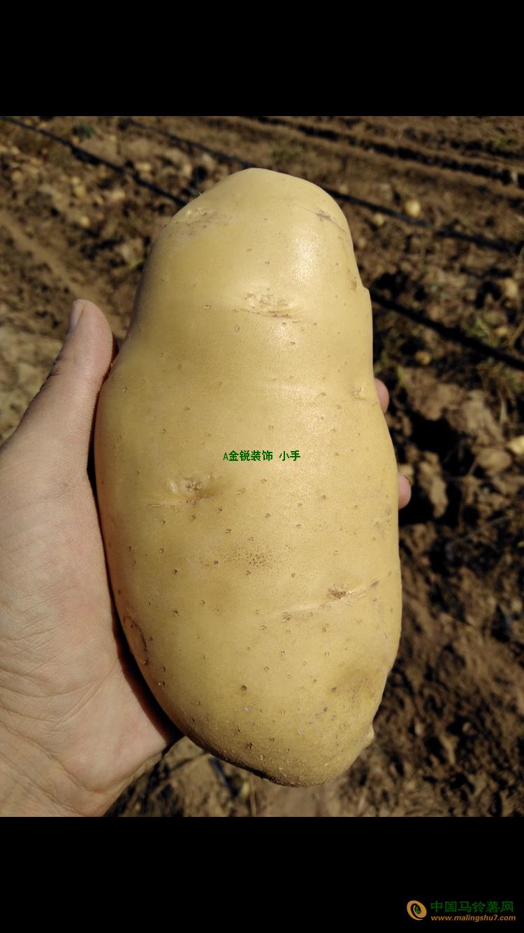 供应300万斤露天新挖土豆荷兰15、V7、V8 ()