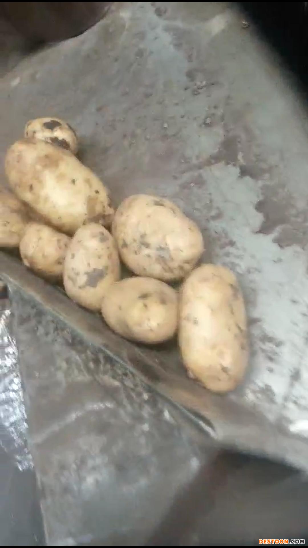 大量出售#自家种植#优质兴佳、黄金薯 ()