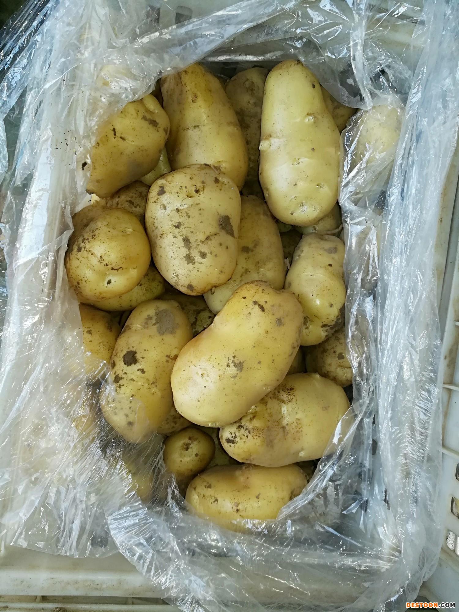 大量供应滕州新鲜土豆 ()