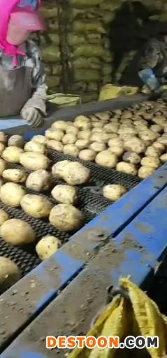 大量商品薯种薯 ()