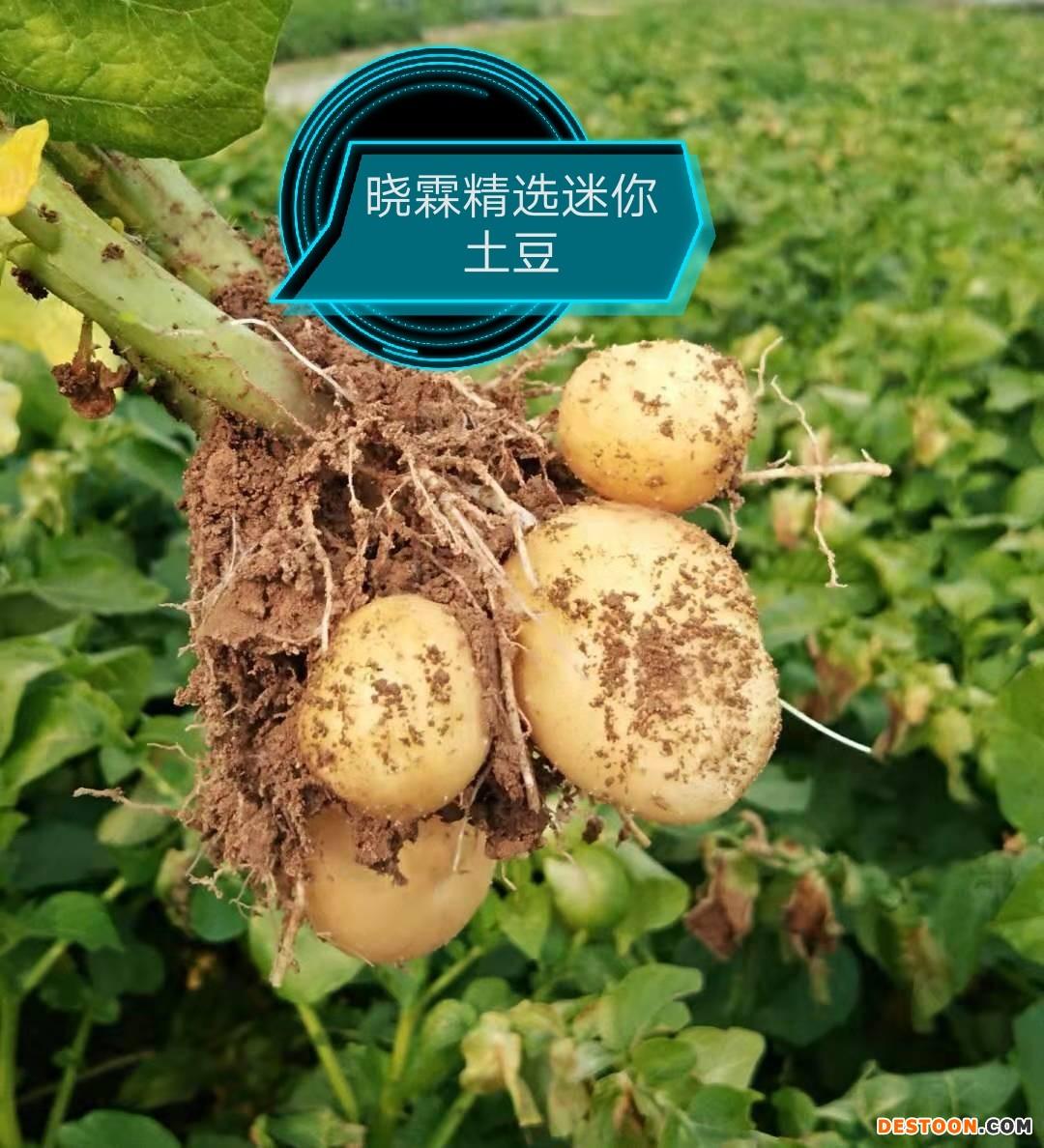 常年供应各种规格迷你土豆 ()